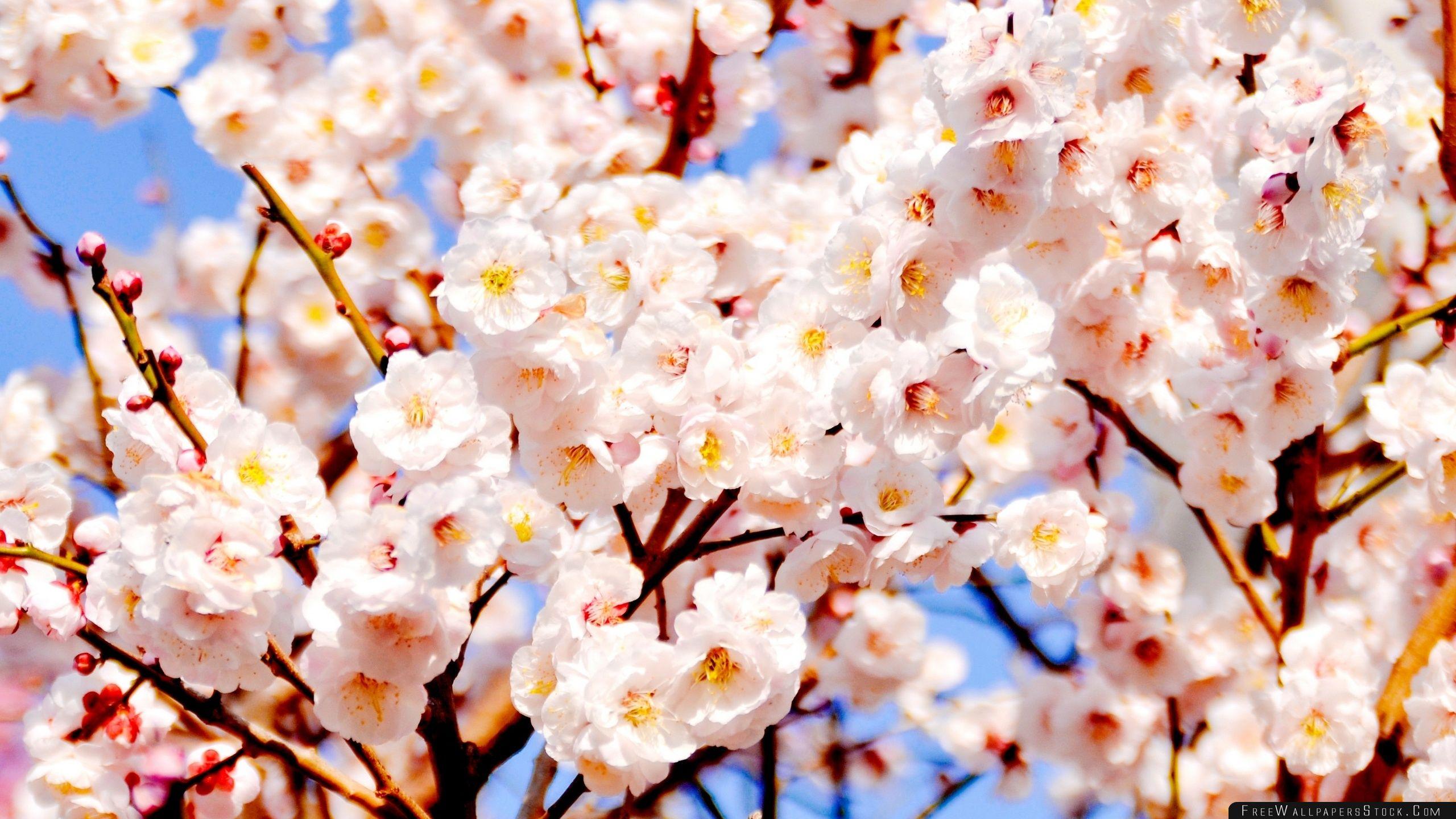 Download Free Wallpaper White Plum Blossoms