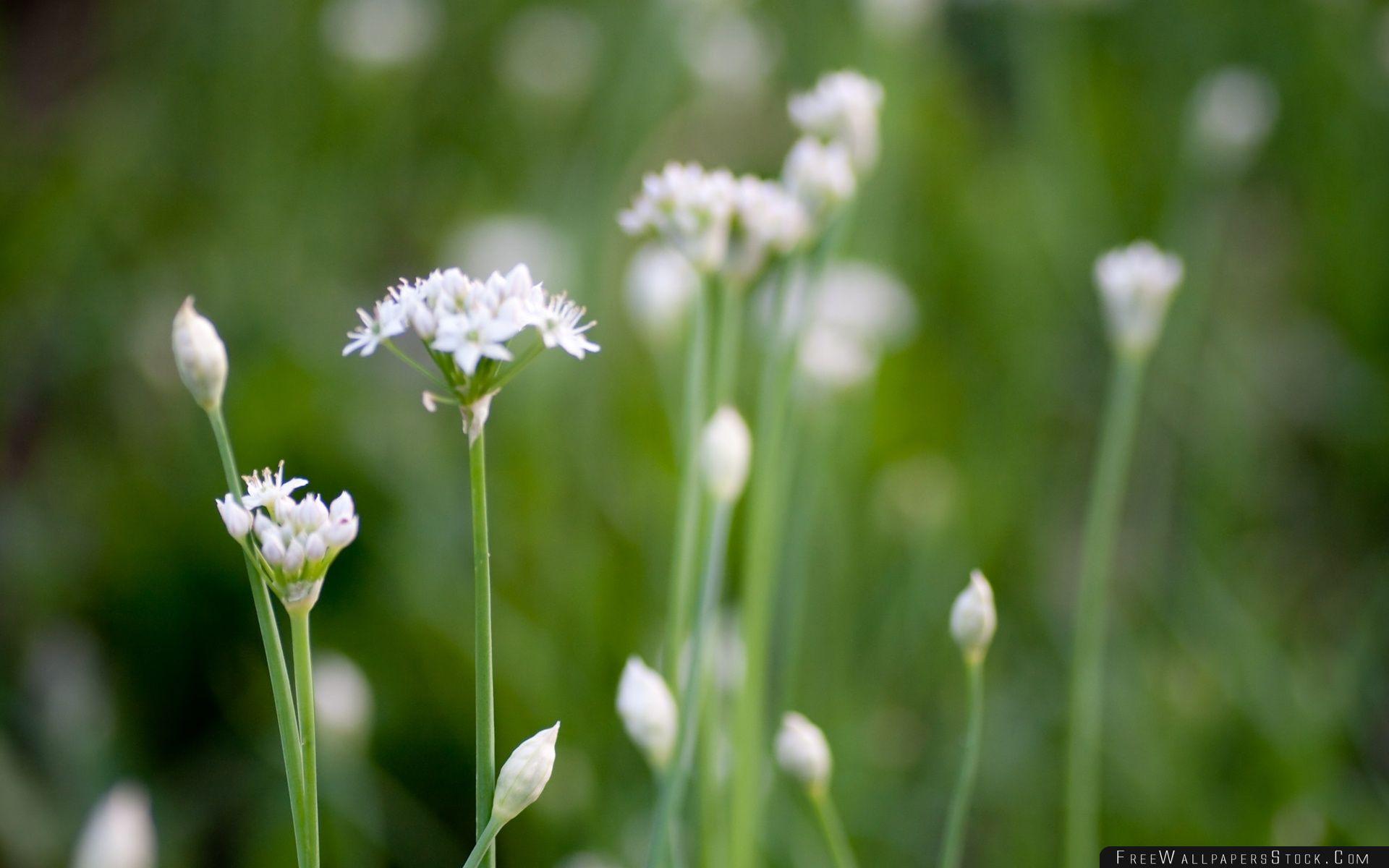 Download Free Wallpaper White Wildflowers