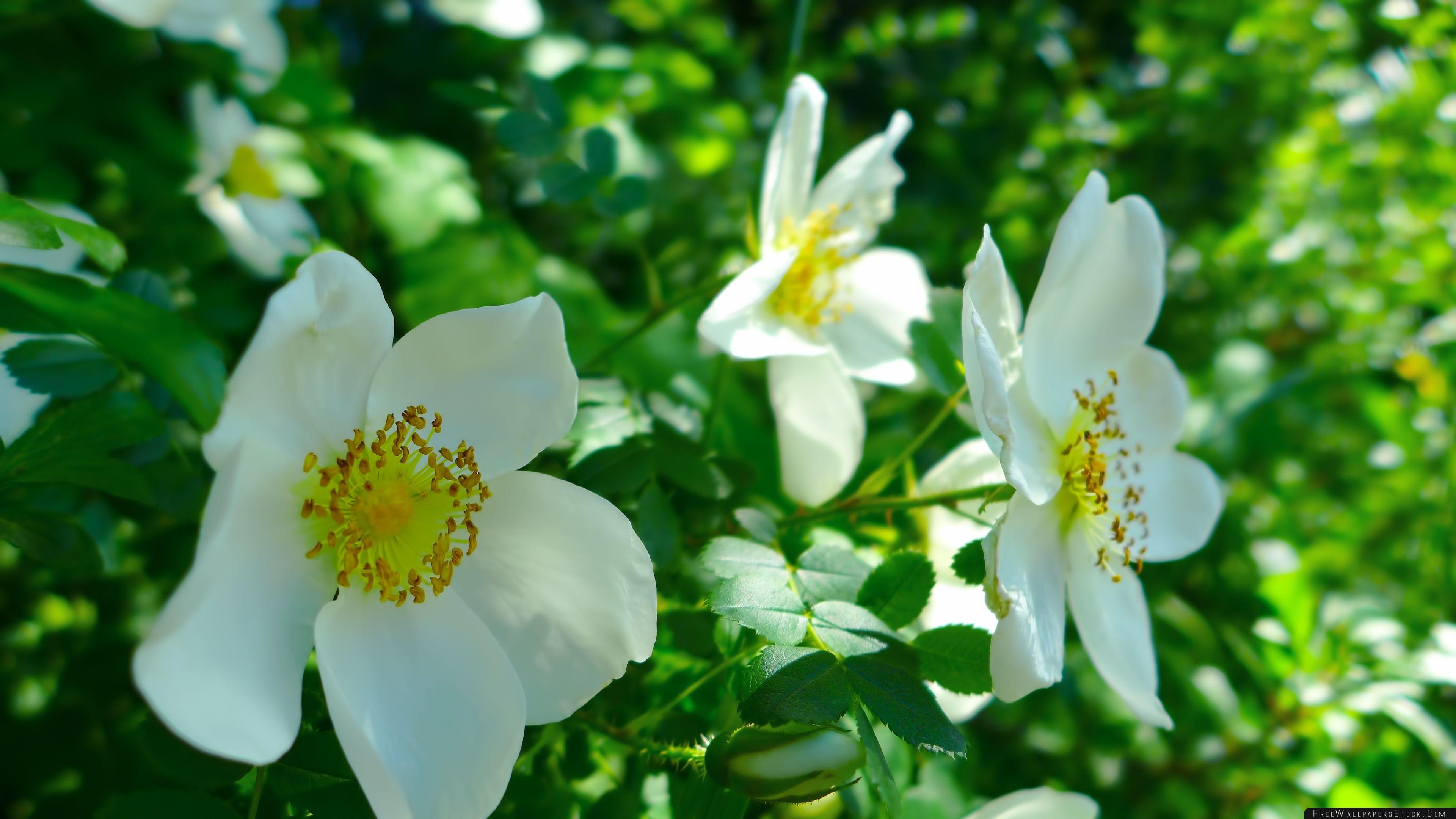 Download Free Wallpaper White Wild Roses