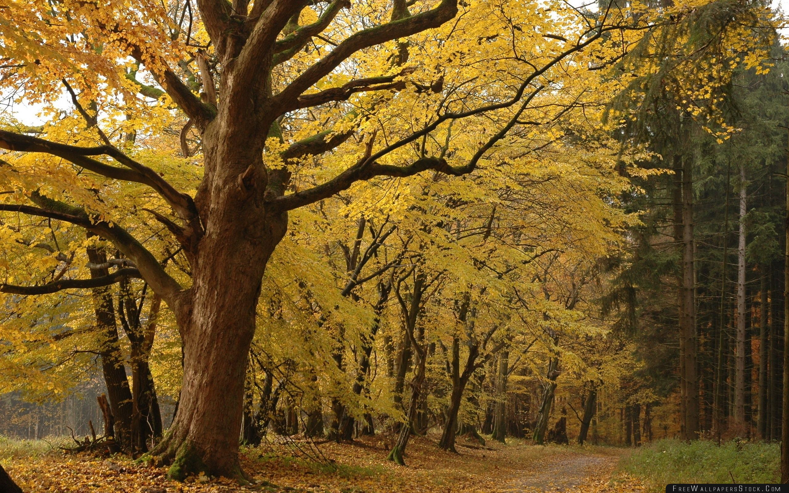 Download Free Wallpaper Yellow Tree   Forest