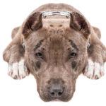I Choose My Pit Bull Over Playdates - BluntMoms.com