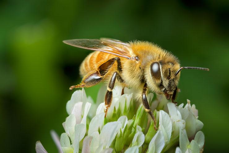 manuka honey bee