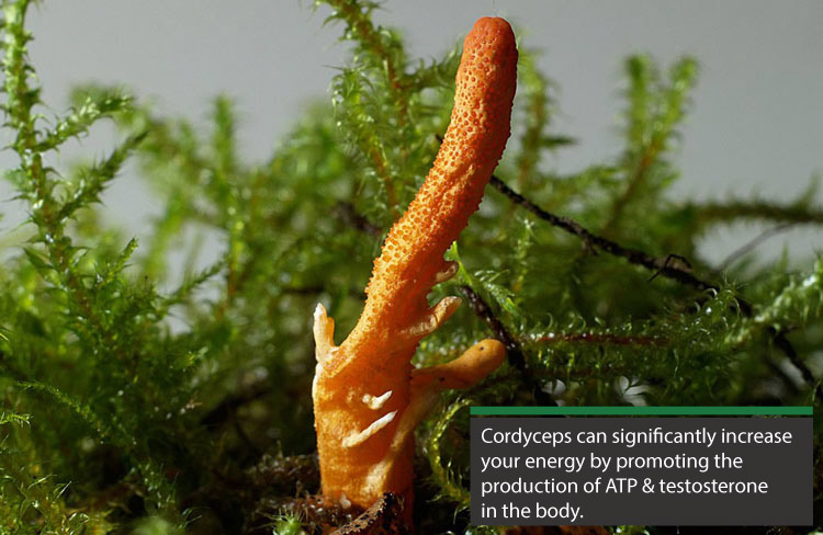 cordyceps can significantly increase your energy by promoting the production of ATP and testosterone