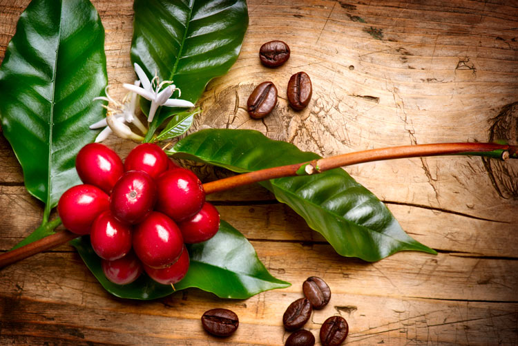Coffee fruit for a BDNF supplement