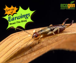 What Are Earwigs And How To Get Rid Of Them