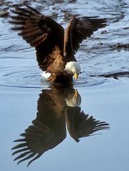 eagle_reflection250