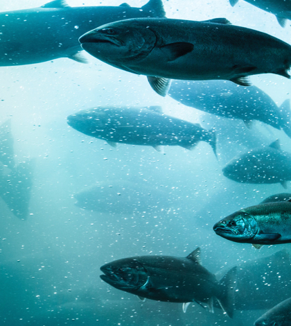 New Restrictions Anticipated for Pacific Salmon Fishing
