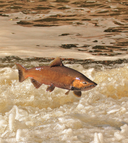 The Battle Creek Salmon and Steelhead Restoration Project