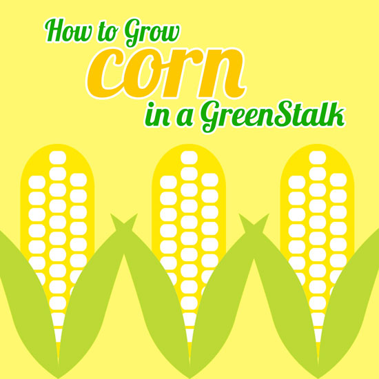 How We Grew Corn in Containers