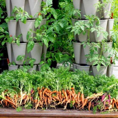 carrots-amazon