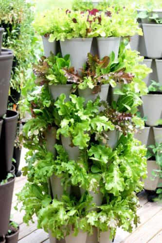 Lettuce growing in GreenStalk