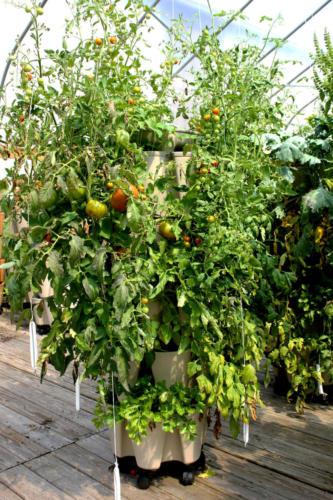 Tomatoes Growing in GreenStalk Vertical Garden