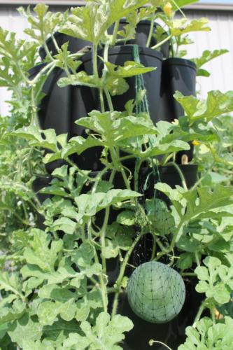 Watermelon Growing in the GreenStalk Vertical Planter