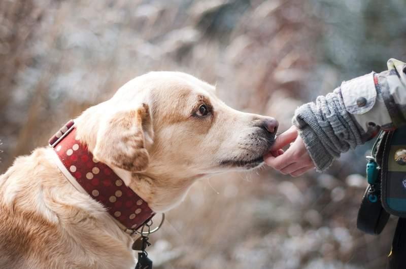 Labrador retriever Dog For Traveling