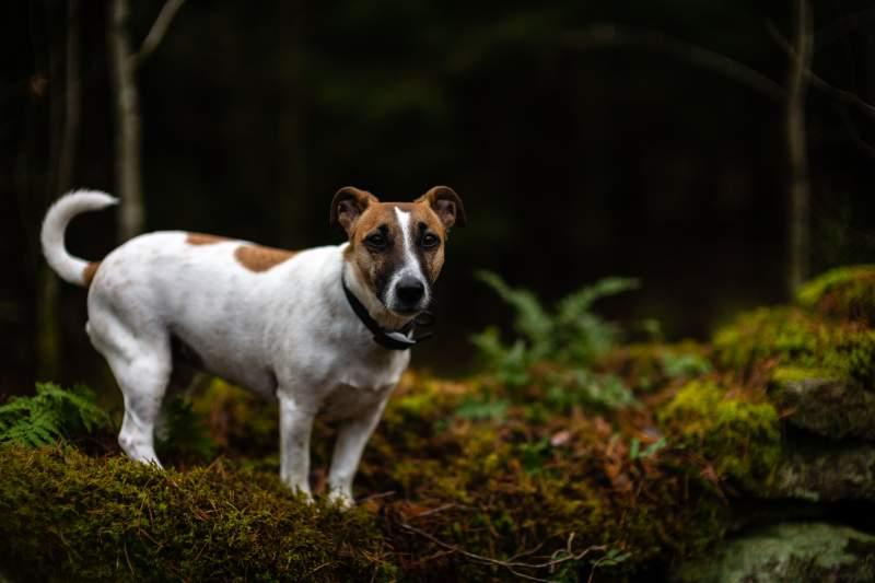 Russell terrier Breed Dog For Traveling