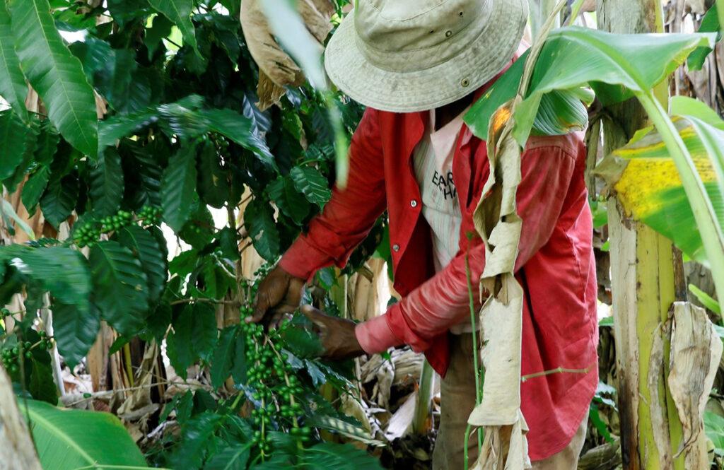 Exportación de café hondureño bajan