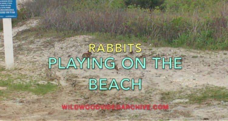 Bunnies On The Wildwood Beach