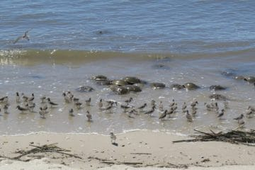Delaware Bay Shorebird Stewards Needed
