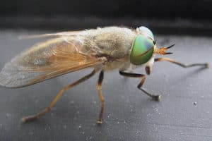 The Fickle New Jersey Greenhead Fly