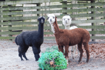 Watch Cape May Zoo Animals Play With Recycled Christmas Trees