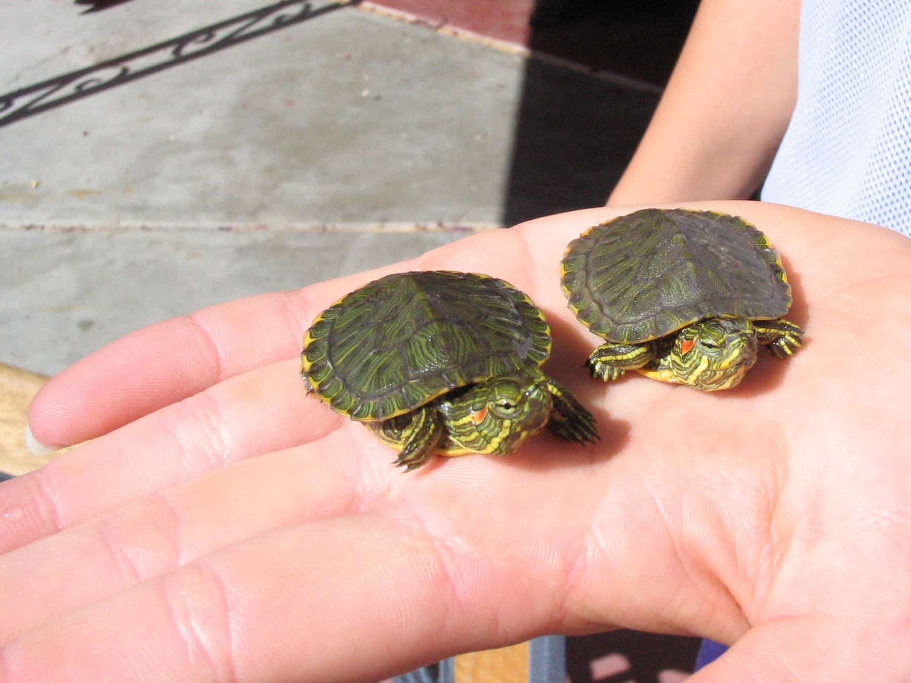 Keep An Eye Out For Baby Turtles