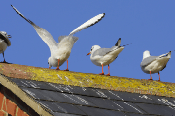 Getting Pooped On Via Seagulls Proven To Give You Luck