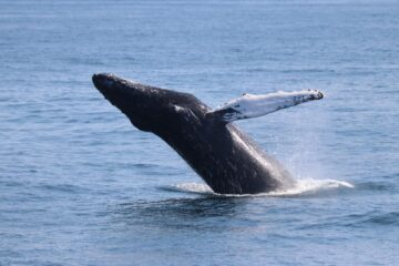 Our Humpback Whales Are Migrating South