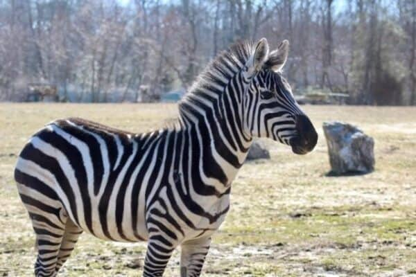 Cape May Zoo Gets New Zebra