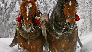 GOLDEN HORSESHOE SLEIGH TOUR & COOKOUTS