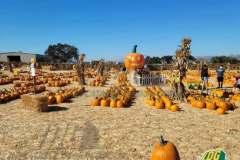 Giant Pumpkin Logo at pumpkin patch