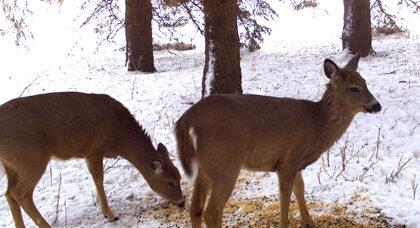 deer supplement snow