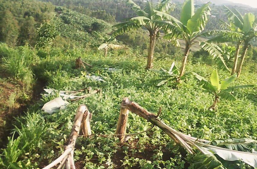 Muhanga/Gifumba: Abantu bataramenyekana batemye insina z'uwarokotse Jenoside
