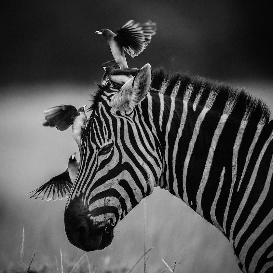 Laurent-Baheux-Complicity-zebra-and-birds-Kenya-2014-900-x-900-72-dpi__880
