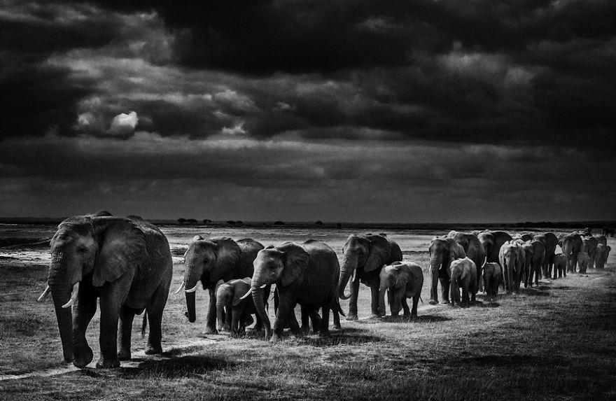 Laurent-Baheux-Exodus-of-elephants-Kenya-2013-900-x-600-72-dpi__880