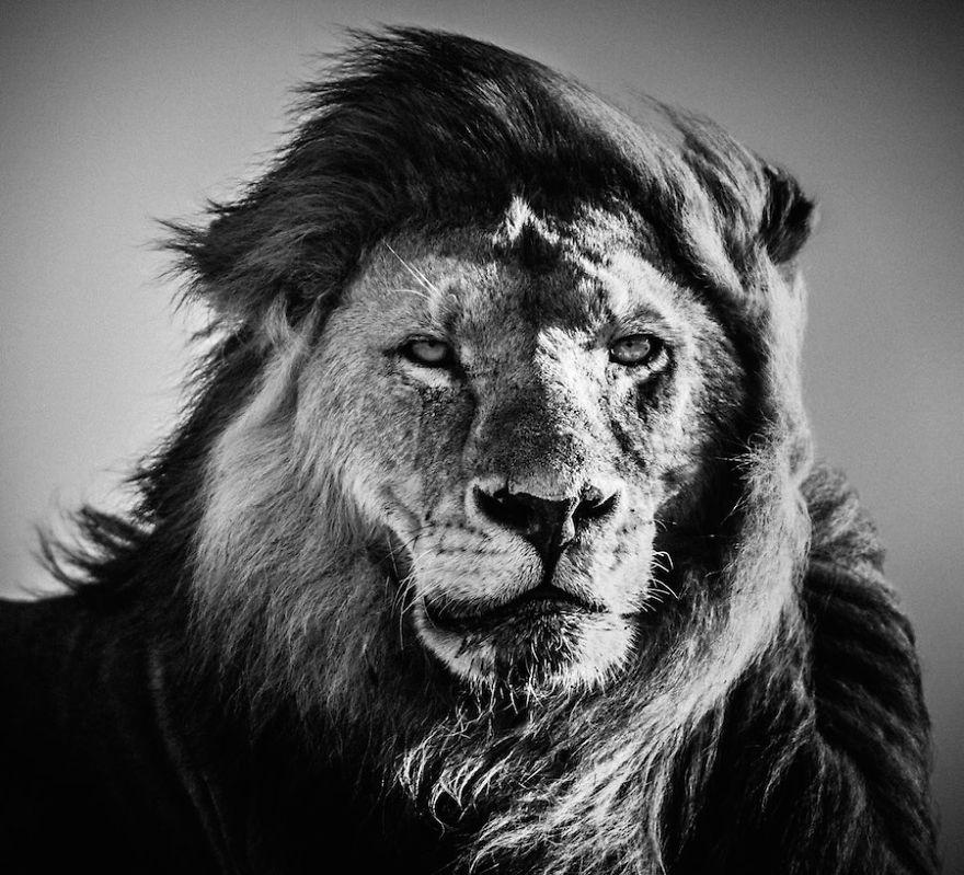 Laurent-Baheux-Lion-portrait-Kenya-2006-900-x-800-72-dpi__880