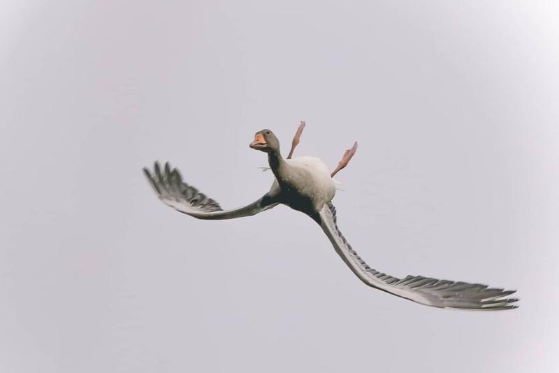 Fotógrafo capta imagem rara de ganso voando de costas