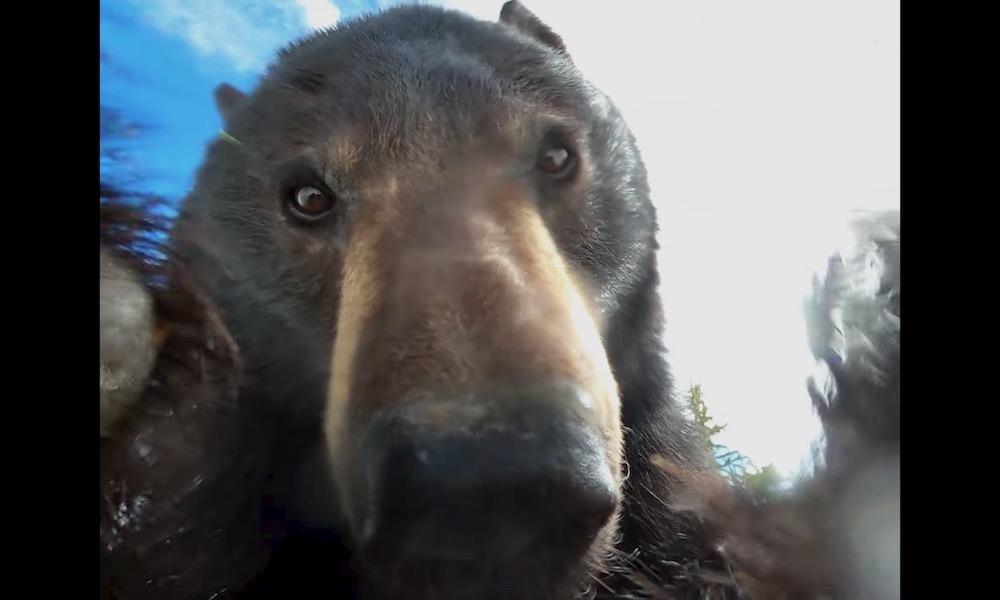 GoPro perdida é achada com imagens filmadas por um urso