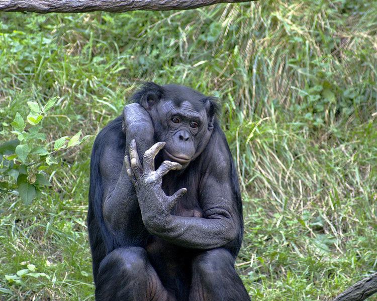 750px-Bonobo_009