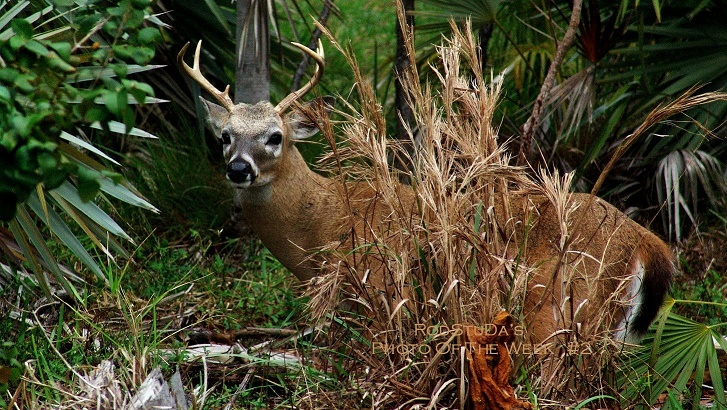 2-dear-look-over-there-where-i-dont-see-a-deer-dear-big-pine-key-deer-blind