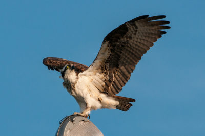 UPDATE: Osprey That Was Shot Off US Cutter Ingham is Euthanized