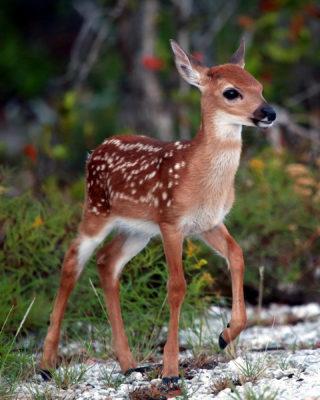 Refuge Manager: Key Deer Screwworm Threat Appears Over But We Must Remain Vigilant