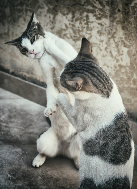 cat-fight-canstockphoto32512363