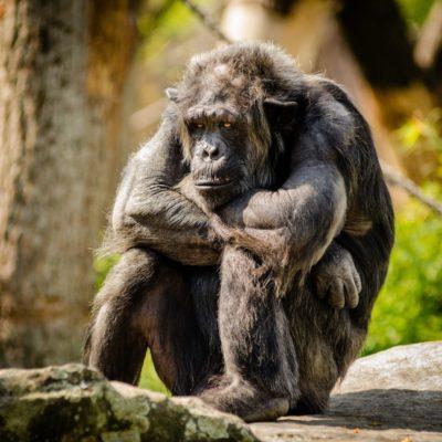 https://www.publicdomainpictures.net/en/view-image.php?image=166526&picture=chimpanzee-sitting