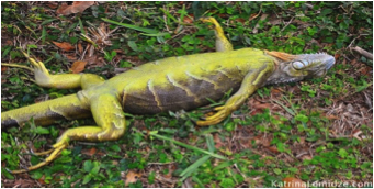 Here's the logic, if there are dangerous chemicals in Southernmost landfill why not test Iguanas for the kinds and levels of toxins in them and their rates of 'natural' mortality there over other dwelling places. Right now the iguanas are taken away periodically by a refuge company
