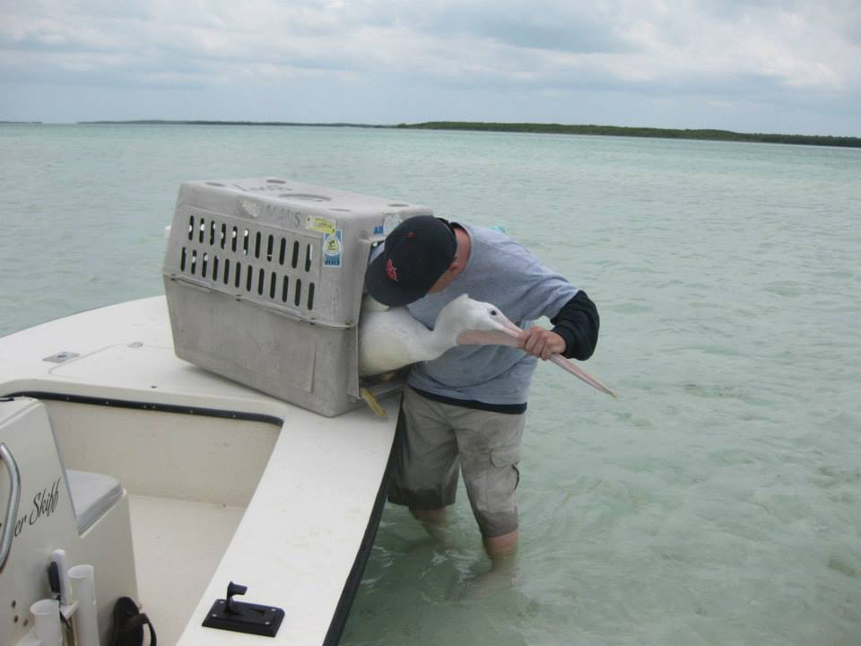 Removing the American White Pelican from carrier prior to release...