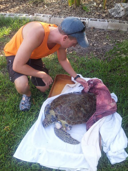 Turtle Hospital Ambulance Driver Matt Brochhausen examines the Green Turtle rescued from Calda Channel at The Key West Wildlife Center