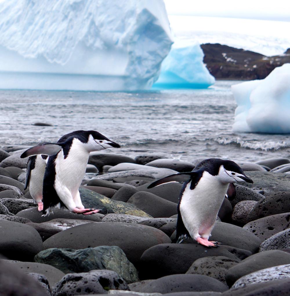 penguins_glamorous_or_not