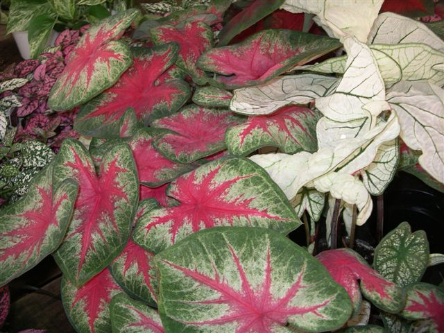 Caladium has vibrant, colorful leaves make this a wonderful substitution for a blooming plant.