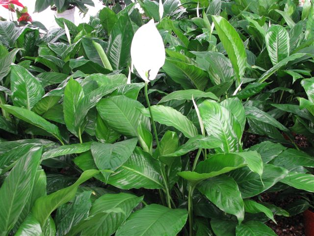 The Spathiphyllum is known by common names of Peace Lily or White Flag.  It can thrive in low to medium light conditions.