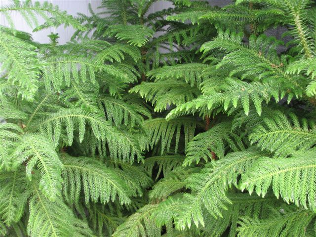 Norfolk Island Pine is an indoor pine tree. It needs high light. It is great for Christmas décor.